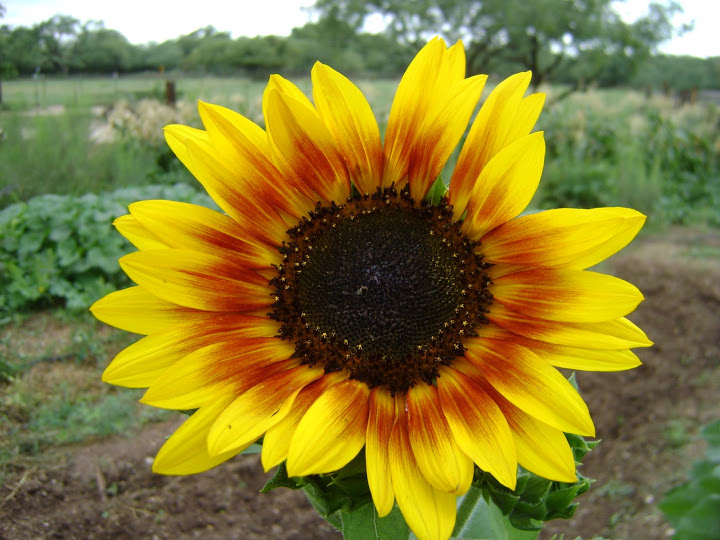 One of Aldous's sunflowers.